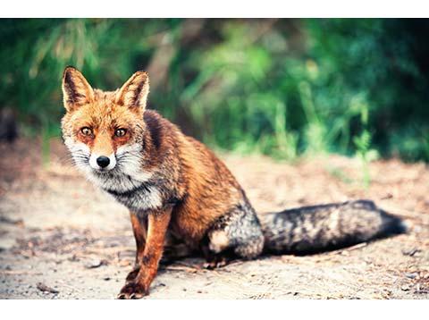Haarwild (Fuchs)