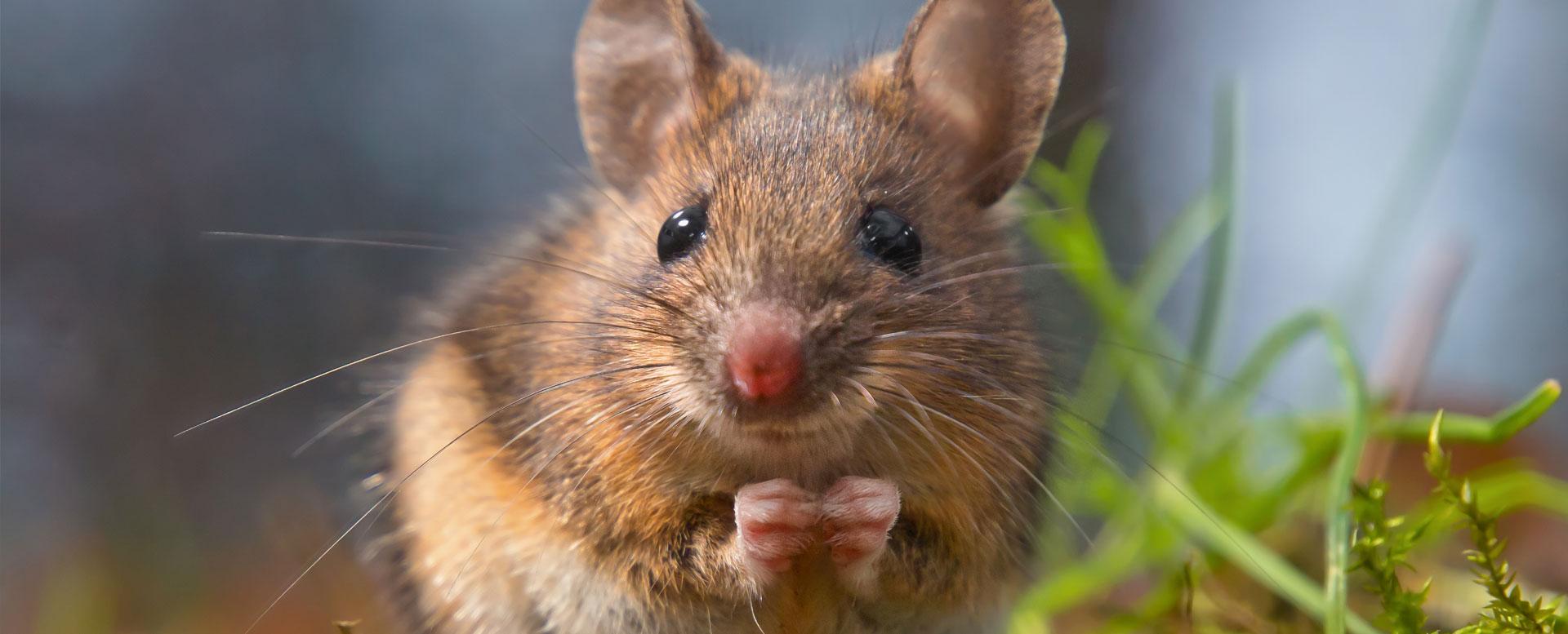 Mäuse Im Haus Tricks